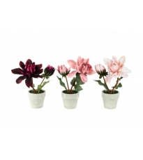 Potted Dahlia - 3 Assorted